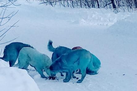 Росприроднадзор проверит ситуацию с голубыми собаками в Дзержинске