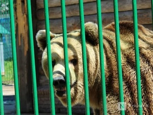 Воскресенский браконьер убил медведя и закопал тушу в лесу