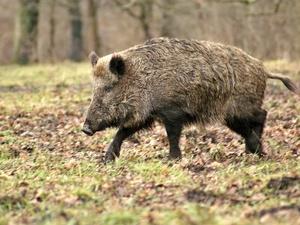 Труп кабана с вирусом африканской чумы свиней нашли в Богородском районе