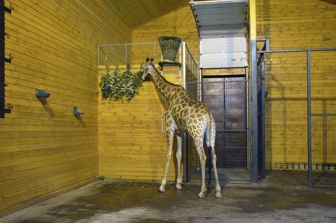 Жираф Радуга из нижегородского зоопарка отметила первый юбилей - фото 3
