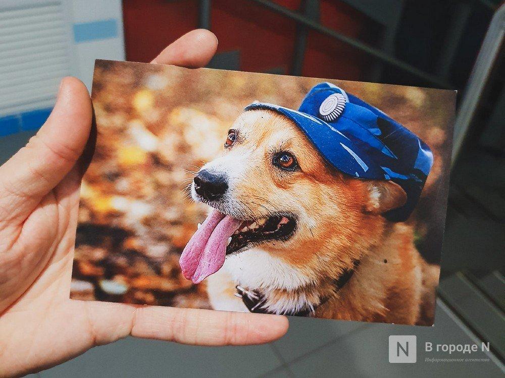 Полицейский-корги из Нижнего Новгорода шлет поздравительные открытки россиянкам - фото 1