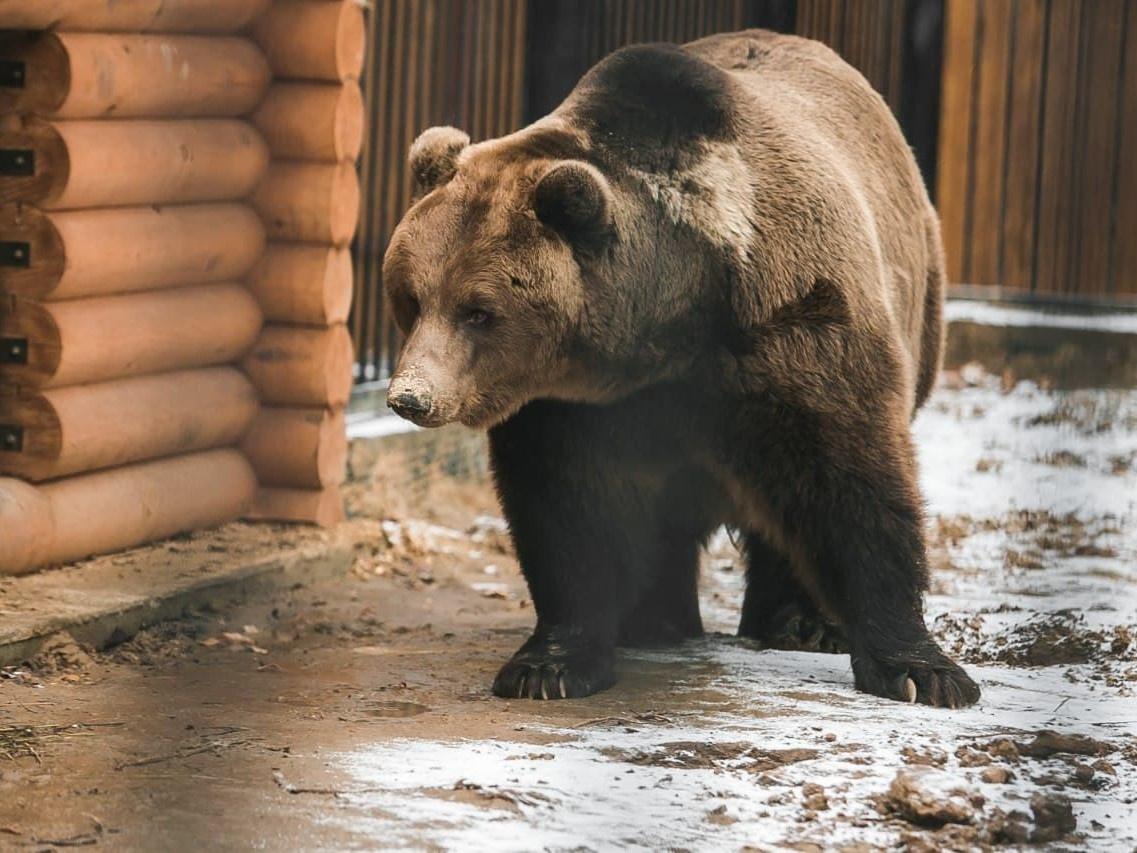 Медведи Миша и Маша из нижегородского «Мишутки» готовятся к спячке в «Маленькой стране» - фото 1